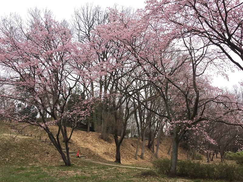 本丸土塁手前の桜