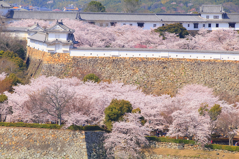 あふれ 桜
