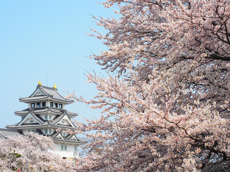桜満開墨俣城