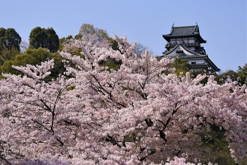 燃ゆる桜花