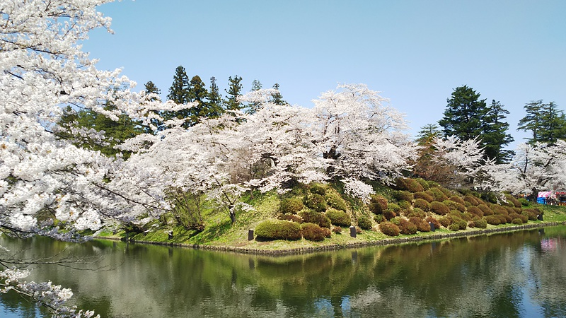 舞鶴城の桜[米沢城]
