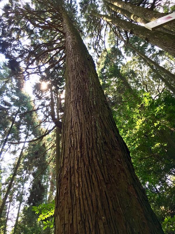 島津義弘、飯野城入府時に植えられたと思われる約430年前の杉