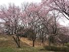 本丸土塁手前の桜…