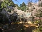 枝垂れ桜満開!…