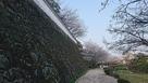 石垣とサクラ