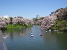 千鳥ヶ淵緑道の桜…