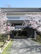 桜が彩る大手櫓門…
