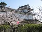 桜と本丸隅櫓