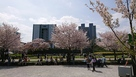桜川綺麗に咲いてます。…
