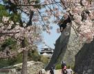 松山城、桜と天守…