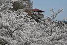 出丸からの桜
