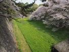 緑の絨毯に向かってのびのびと伸びる桜…