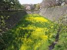 堀底に咲く菜の花(?)…