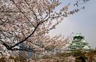 桜と大天守