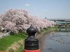 橋から見た桜