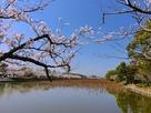 南西の堀端に咲く桜…