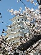 大天守と桜