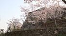 桜と本丸石垣①…
