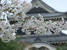 天守と桜 (東側から)…