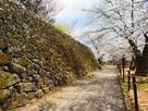 石垣と桜(馬場側)…