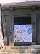 化粧櫓から見た本丸の桜…