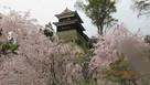 尼ヶ淵の桜