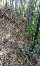 竹藪と化した土塁…