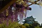 名古屋城の藤