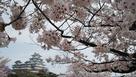 桜をメインに姫路城を添えて…