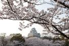 天守と満開の桜…