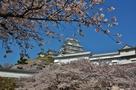 桜の中で映える姫路城…