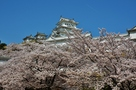 白鷺城を担ぐ満開桜…