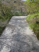 堀を埋める桜の花びら…