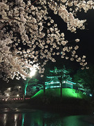 桜満開時の夜桜と三重櫓…