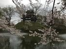 昼間の山楼と満開の桜(夜桜の翌日)…
