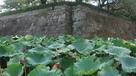 御堀の蓮と石垣…