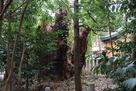 樹齢500年越え