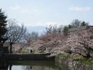 内堀と桜と北アルプスとおめでとうのお二人…