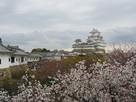 百閒廊下から天守と桜…