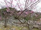 カンヒサクラと石垣