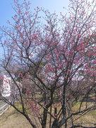 土呂城址の梅