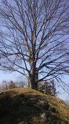 本丸に立つ巨木…