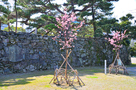 蜂須賀桜の里帰り苗木と、武具櫓跡石垣…