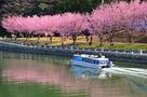 蜂須賀桜、助任川を染めて…