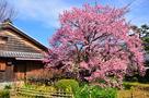 蜂須賀桜の母樹と原田家住宅…