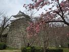 二の丸の桜と天守…