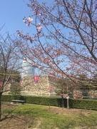 桜越しの天守台…