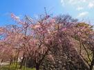 枝垂れ桜と石垣…