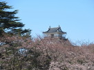 浜松城駐車場から桜と天守…
