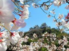 城郭遠景 桜の額装…